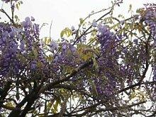 500 Samen Blauregen >Wisteria sinensis< (Schöne blühende Kletterpflanze Winterhart)