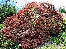 500 Samen Blutfächer-Ahorn (Acer