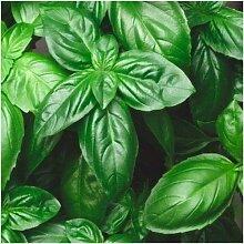500 Samen der italienischen Große Blatt Basilikum