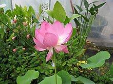500 Samen Lotusblume Pink -Nelumbo nucifera-