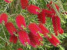 500 Samen: Red Putzer (Callistemon) - 500/1500