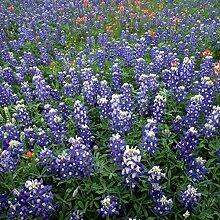 500 Stück BluebonnetsSeeds Easy Grow Pflanze