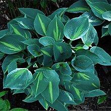 500 Stück Gemischte Farbe Hosta Plantaginea Samen
