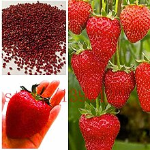 500 Stück Milch Erdbeeresamen super große Erdbeeren Samen, Blumensamen, Gartenversorgung, Parfüm Bonsai, ghd, Haus & Garten NO-GMO