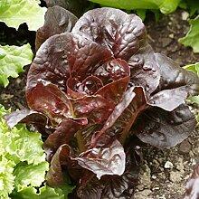 500 Stück Rote Römersalat Samen Nahrhafte