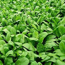 500 Stück Spinat Samen Nahrhaftes Gemüse Home