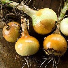 500 Stück Zwiebelsamen Non-GMO Gemüse Hausgarten