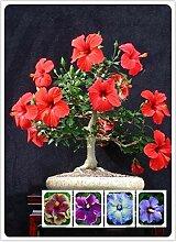 500 Teile/beutel Spezielle Seltene Farbe Hibiskus