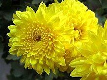 500 Yellow Chrysanthemum Morifolium Blumensamen