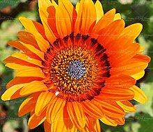 50pc Knoblauch Chrysantheme Einfuhr Topfblumen