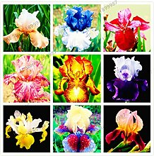 50pcs / bag Iris Samen, ausdauernde Pflanze Bonsai