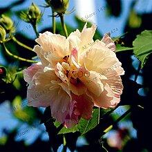 50pcs / bag Mischfarben Hibiscus mutabilis Samen Speiseteller Hibiscus Staudenblumensamen für Gartenhaus 6 Bepflanzung