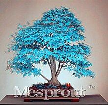50PCS China Ahorn Bonsai-Baum-Samen. Rare Sky Blue
