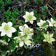 50pcs Clematis Samen Terrasse und Garten Balkon Topfgrünpflanzen Grün Clematis Kletterpflanze DIY