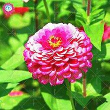 50pcs echte Zinnia elegans Echte Blumen Bonsai Samen leicht Cultivating Staude für Topf plantiation Garten Balkon Hof 3