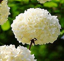 50pcs Geranium Blumensamen Pelargonium Hortorum Hydrangea-Blumen-Samen-Hausgarten Immergrüne Pflanze Bonsai 2Geranium weiß