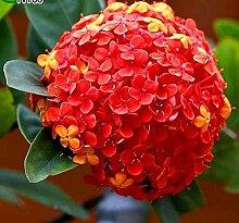 50pcs Geranium Blumensamen Pelargonium Hortorum Hydrangea-Blumen-Samen-Hausgarten Immergrüne Pflanze Bonsai 1Geranium ro