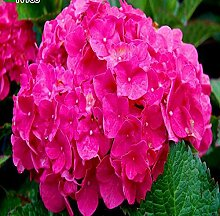 50pcs Geranium Blumensamen Pelargonium Hortorum Hydrangea-Blumen-Samen-Hausgarten Immergrüne Pflanze Bonsai 5Geranium rosa