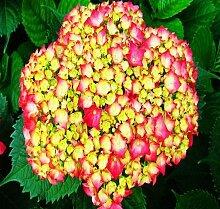 50pcs Geranium Blumensamen Pelargonium Hortorum Hydrangea-Blumen-Samen-Hausgarten Immergrüne Pflanze Bonsai 3Geranium gelb