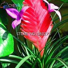 50pcs heiße Verkaufs-Tillandsia Cyanea Samen Topfblumensamen Lila chinesischen Seltene Bonsai-Dekoration für Haus und Garten