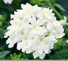 50pcs Hortensis Verbena Hybrida Seltene Bonsai