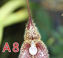 50PCS / Lot Rare-Affe-Gesichts-Orchidee Blumensamen Ältere Phalaenopsis Pflanze Bonsai Home Garten Supplies