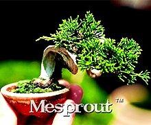 50Pcs Mini Juniper Bonsai Tree Seeds Potted