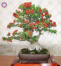 50PCS Pyracantha fortuneana Seeds (Feuerdorn)