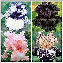 50pcs seltene Iris, Iris Samen,