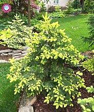 50PCS seltene Pflanze Blaufichte Samen Fichte Topf Staude Baum Samen Garten Bonsai Hauptdekoration
