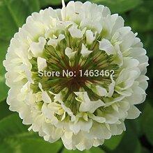 50pcs vier Kleeblatt-Samen-Hausgarten-Dekoration Bonsai Blumensamen Schönheit Glück