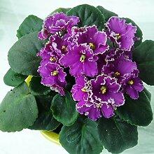 50seeds / bag alle Art der Farbe violett Samenplantage Pflanze, Samen Staude Matthiola Incana