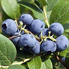 54 Heidelbeeren / Blaubeeren Pflanzen 50-60cm im 5 l Topf inkl. Palettenversand