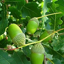 5Pcs Oak Tree Seeds Staude Full Sun Gute Ernte
