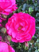 5x 4,5 Liter Topf Bodendeckerrosen pink