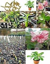 5x Adenium obesum Wüstenrosen Zimmerpflanze Samen Frisch Pflanze Baum Blumen Bonsai Rosa Pink #384