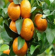 5x Citrus reticul Mandarinenbäumchen