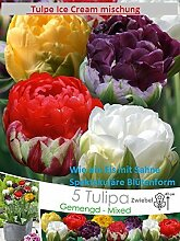 5x Eis Tulpe Ice Cream Mischung Bunt Zwiebel Frisch Blumenzwiebel DE Rarität Neu Blumen Garten Pflanze Selten in DE Neu R2