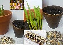 5x Jung Pflanzen Regenbogen Mais Bunt mit keimlinge Getreide Glasperlenmais Glass Gem Corn Regenbogen Mais Pflanze Seltene Getreide Sorte frische Neuheit R79