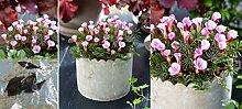 5x Oxalis Autumn Pink Zwiebel Sauerklee Autumn Pink Außen Zimmerpflanze Blumenzwiebeln Drachen Blumen Neu Zierklee Oxalis Autumn Pink Rosa Garten selten in DE Pflanze R8+