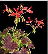 5x Pelargonium zonale Samen Geranie Pflanze Garten