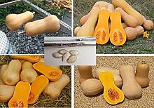 5x Squash Hercules F1 Hybrid Butternut Kürbis Garten Pflanze Samen Süß Suppe Kürbisse Gemüse #386