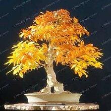 6: 20 Stücke Seltene Blau Ahorn Samen Bonsai Baum