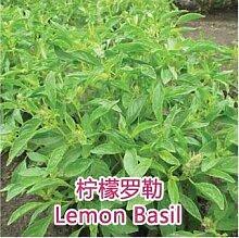 6: Echte Samen, 10 Teile/los Basilikum, Ocimum