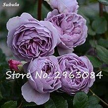 6: Exotische Rose Rosas Samen Frische Bonsai