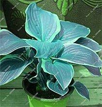6: Hosta Samen Bonsai Topfpflanze seltenes Kraut