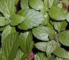 6Swiss mint Kräuter Pflanzen