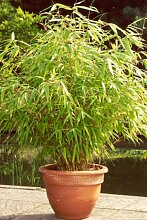 6 x Bambus Pflanze Fargesia rufa ca. 40 cm -jetzt