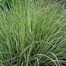 6 x Calamagrostis Acutiflora 'Overdam' -