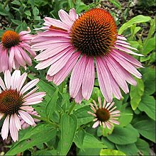 6 x Echinacea Purpurea 'Magnus' -